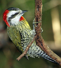 210-green_woodpecker